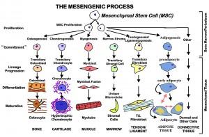 mesenchymal-tree