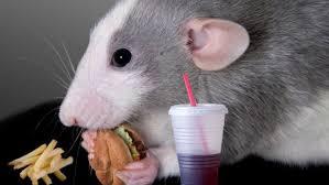 fructose-rat